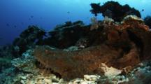Wobbegong Rests On Reef