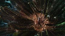 Urchin Cling Fish In A Crinoid