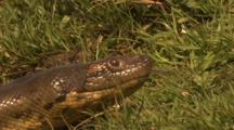 Amazon: Close-Up Of Crawling Anaconda