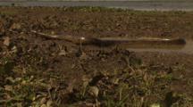 Amazon: Wide To Close-Up Of Moving Anaconda
