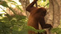 Amazon: Howler Monkey
