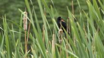 Red-Winged Blackbird Flies From Cattails