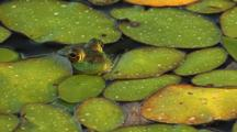 Bullfrog Peeks Above Vegetation (Water Shield)