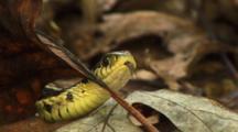 Garter Snake Stares While Flicking Tongue