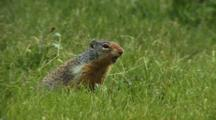 Columbian Ground Squirrel Gives Alarm Calls