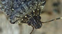 Marmorated Stink Bug - Close Up