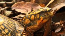 One-Eyed Box Turtle