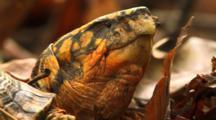 One-Eyed Box Turtle - Close Up