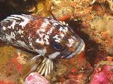 Gopher Rockfish Resting