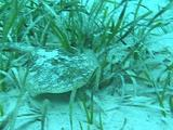 Yellow Stingray In Turtle Grass
