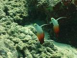Fire Dart Goby Pair