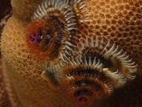Christmas Tree Worms On Coral Head