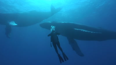 A Diver With Three Humpback Whales Swim Overhead With Sunburst And Bubbles