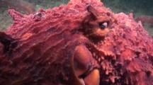 A Giant Pacific Octopus Travels Along The Bottom In Alaska