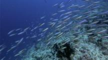 4k | Fish School Swim Over Reef | Maldives