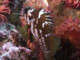 Rockfish On Anemone Covered Reef