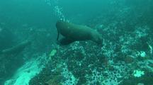 Cape Fur Seal Watching