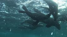 Cape Fur Seals In Surge