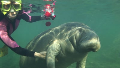 Manatee Being Touched By Snorkeler