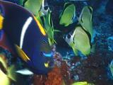 King Angelfish And Scythe Butterfly Fish
