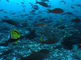 Creole Fish And Scythe Butterfly Fish