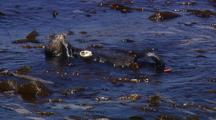 Sea Otter Feeding On Red Abalone