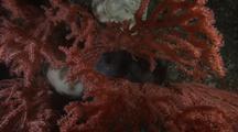 Wolf Eel (Anarhichas Lups) Resting On Soft Coral (Primnoa Resedaeformis)