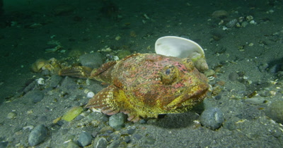 Buffalo Sculpin (Enophrys bison)