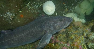 Lingcod (Ophiodon elongatus)