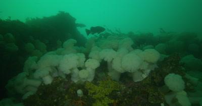 Giant Plumose Anemone Colonies (Metridium farcimen)