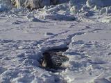 Bearded Seal Mother (Erignathus Barbatus) Checking On Pup On Sea Ice