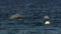 Beluga Whales (Delhinapterus Leucas) Socializing