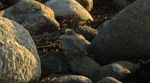 Arctic Terns, Beluga Point