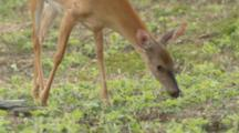 White-Tailed Deer Feeding On Young Plants In Soybean Field