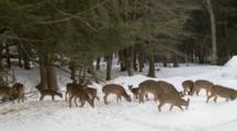 White-Tailed Deer Herd In Winter