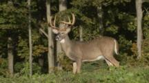White-Tailed Deer. Large Antlered Buck In Early Autumn