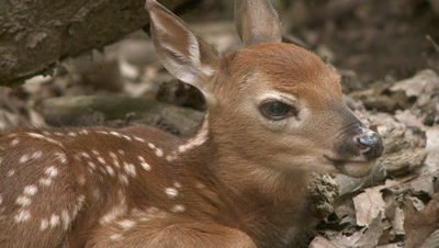 White-Tailed Deer,Newborn Fawn Hiding