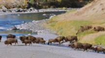 Bison (American Buffalo) Herd Crossing River