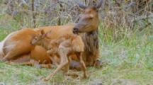 Elk Cow Lying With Newborn Calf
