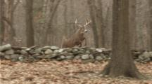 White-Tailed Deer,Whitetail Buck Jumps Stonewall And Runs In Autumn Woods (Slow Motion)