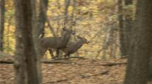 White-Tailed Deer,Whitetail Bucks And Doe Run In Autumn Woods (Slow Motion)