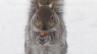 Gray (Grey) Squirrel eating acorn,snow cover