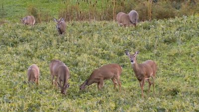 White-tailed deer (whitetail): Group of deer eating in soybean field