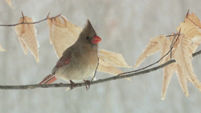 Northern Cardinal: Female snowing perched on beech branch