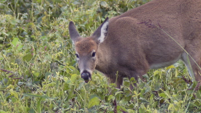 White-tailed deer (whitetail): Doe eating soybeans