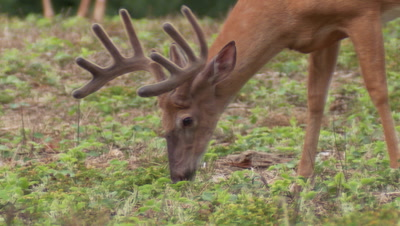 White-tailed deer (whitetail): Buck eating soybean leaves
