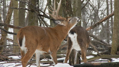 White-tailed deer (whitetail): Buck Lip Curling
