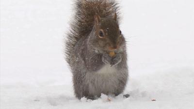 Gray (grey) Squirrel eating acorn in snowstorm