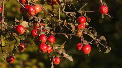 Apples (wild) On Tree