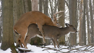 White-tailed deer (whitetail): Buck Mates With Doe